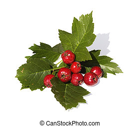 The Branch of hawthorn with fruits is isolated