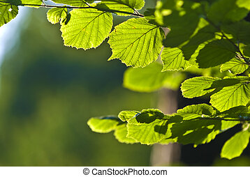 The Branch of Hornbeam tree with the green leaves