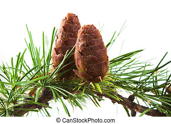 The branch of larch cones isolated on white background