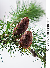 The branch of larch cones