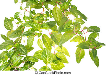 the branch of leaves of a fuchsia is isolated on the white
