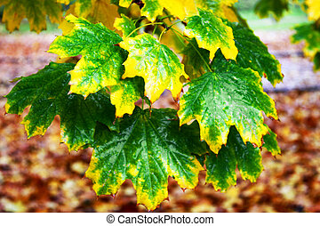 The branch of maple leaves, rain