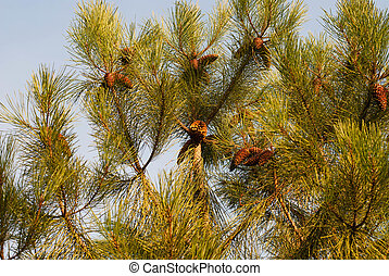 The branch of pine
