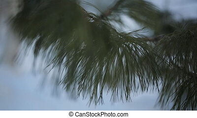 The branch of pine tree close-up in calm weather