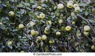 The branch of the Apple tree is strewn with green apples