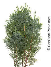 The branch of the evergreen coniferous Thuja  tree