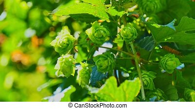 The branch with green hop cones - Natural green hop cones on...