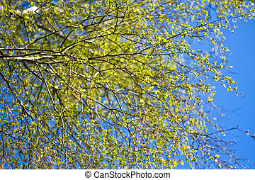 The branches of a birch tree with blossoming leaves