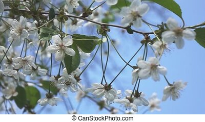 The branches of a cherry blossom, slow motion - Cherry...