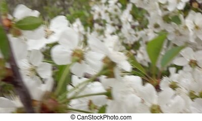The branches of a cherry blossom, slow motion - steadicam...