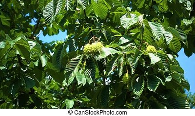 The branches of a chestnut tree with fruit swaying in the wind on a Sunny day