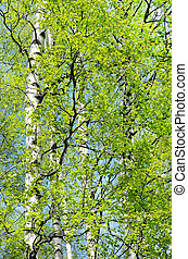 The branches of birch trees