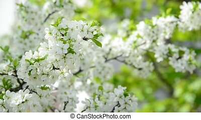The branches of Spring cherry blossoms