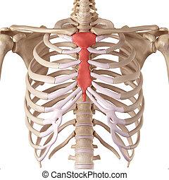 The breast bone