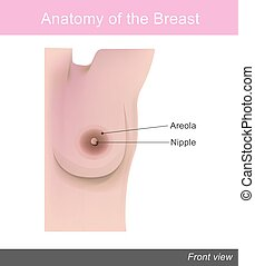 The breast is one of two prominences found on the upper...