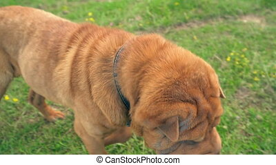 the breed of shar pei - Shar pei dog on the lawn