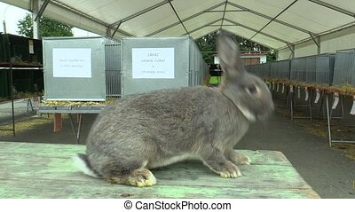 The breed of the rabbit chinchilla, the exhibition