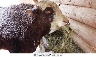 The breeding bull eating hay from the trough on the farm on...