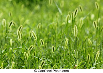 The breeze in the Setaria viridis - The breeze shaking of...