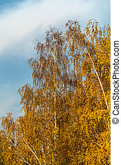 The bright autumn leaves of birch trees on the background of the cloudy blue sky