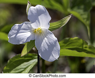Trillium - the bright white color of a freshly bloom...