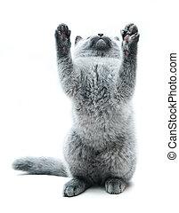 The British cat - Grey thoroughbred cat on white background