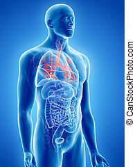 the bronchi - 3d rendered, medically accurate illustration...