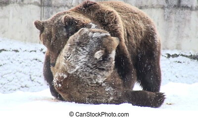 The brown bear fighting in snow