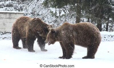 The brown bear walking in snow