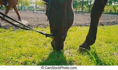 The brown horse in the bridle is eating the grass near the...