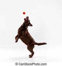 The brown labrador retriever on white - The brown labrador...