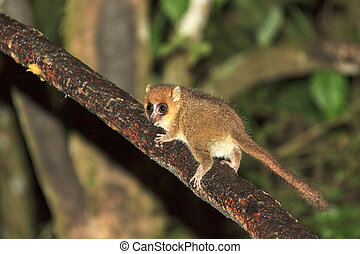 The brown mouse lemur (Microcebus rufus) at night in Ranomafana national park, Madagascar