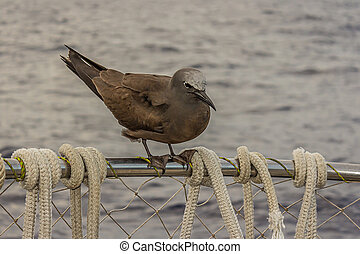 The brown or common noddy (Anous stolidus) aboard a yacht in the middle of the Pacific Ocean, 300 miles from the Tuamotu Archipelago. Its a tropical seabird with a worldwide distribution.