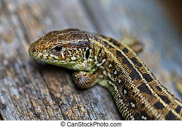 The brown viviparous lizard Lacerta agilis. Macro photo.