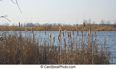 The buds of dry cattails sway in the wind against the blue water of the lake. Marsh grass