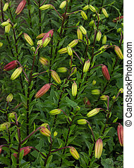 The buds of garden lilies will bloom soon
