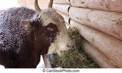 The bull eating hay from the trough - The breeding bull...