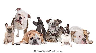 The Bulldog Family. American Bulldog, English Bulldog and French Bulldog