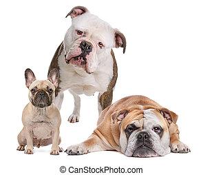 The Bulldog Family. French Bulldog, American Bulldog and English Bulldog