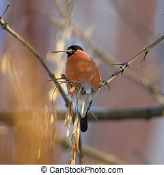 The bullfinch on tree