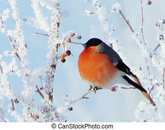 The bullfinch sits on a branch