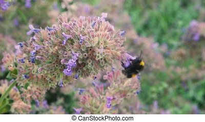 The bumblebee flies around the cornflower plant and collects...