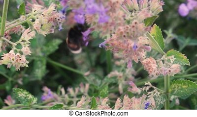 bumblebee flies around the cornflower and collects nectar. Pollination of plants in the meadow. Ecology. The hornet collects nectar from blue flowers.
