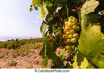 The bunch of grapes at vineyards on sea background