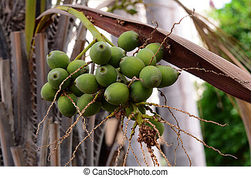the bunch of green date palm on tree