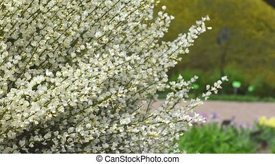 the bush blossoming white with the flying bee in a botanical...