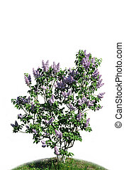 The bush of lilac against white