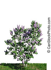 The bush of lilac