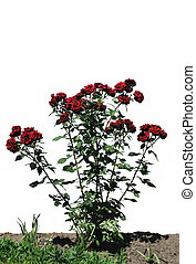 The bush of red rose against white