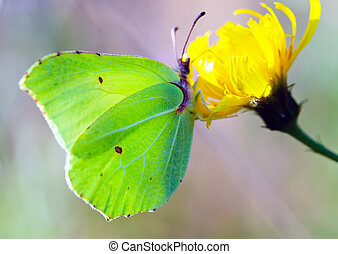 The butterfly Gonepteryx rhamni on a flower